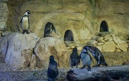 Penguins in a area at the the Dubai Aquarium