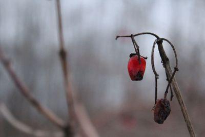 viburnum, viburnum winter branches