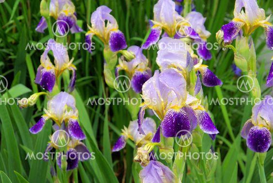 Schwertlilie - iris 41