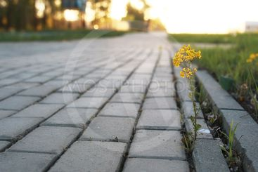 flower growing through the paving stone at sunset