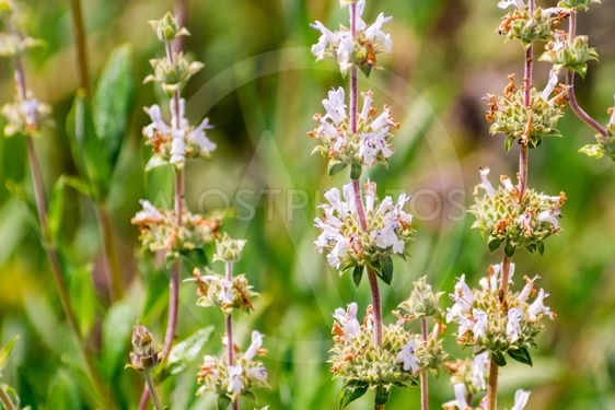 Black sage (Salvia mellifera) wildflowers blooming on...