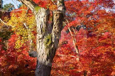 Colorful Japanese maple trees in Japan.
