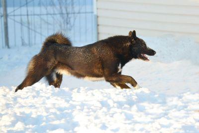 The dog runs