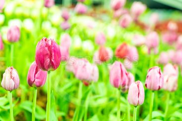 Beautiful and colorful tulips in the garden