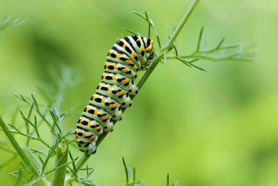 Machaon butterfly's caterpillar