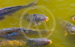 closeup of common carps swimming in the water, hungry...