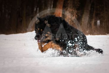 Bohemian Shepherd playing in the snow