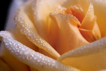Waterdrops on the rose