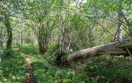 Omkullfallet träd vid en stig i en grön lövskog
