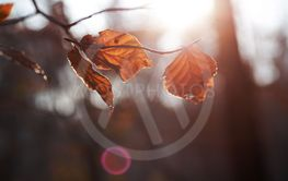 brown leaves autumn leaf with blurred background