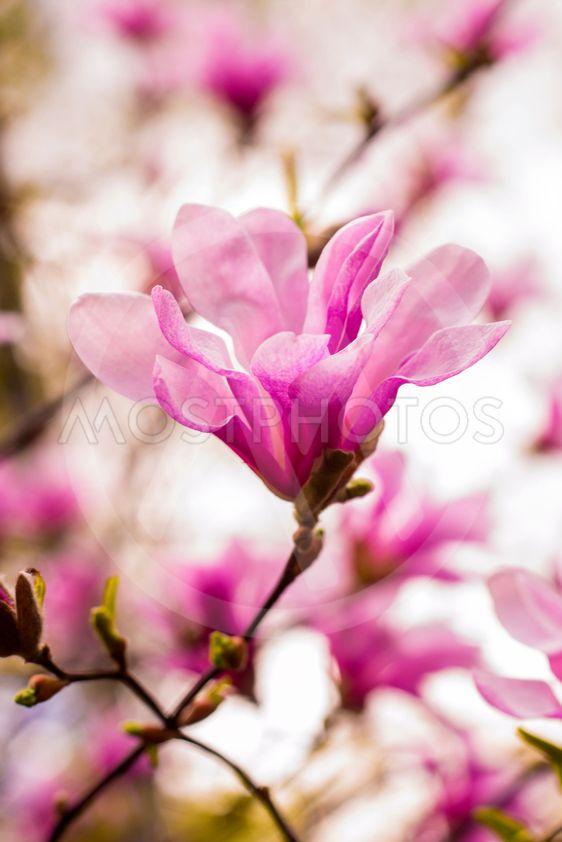Decoration Of Few Magnolia By Andrii Glushchenko Mostphotos