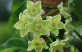 Hoya clorantha