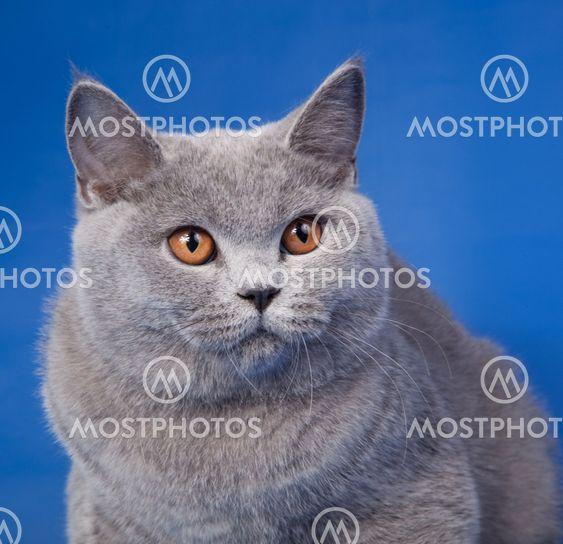 Ison-Britannian kitten sininen tausta