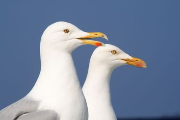 A seagull talking to his friend.
