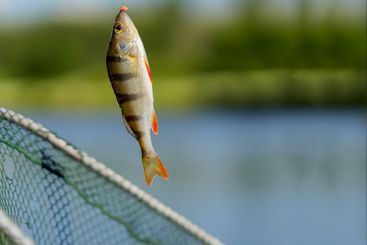 Bright perch close-up on fish-hook on lip with maggot,...