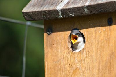 Baby Bird Showing Tongue