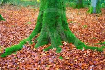 france, lyons forest : beech and autumn leaves