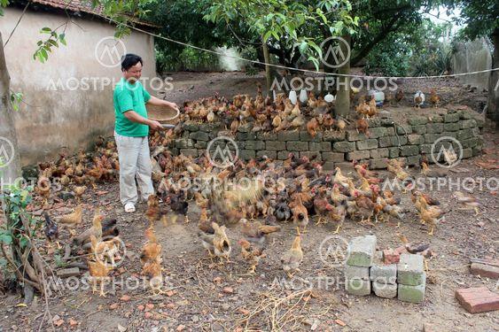 Vietnamese farmer feeding chicken by rice