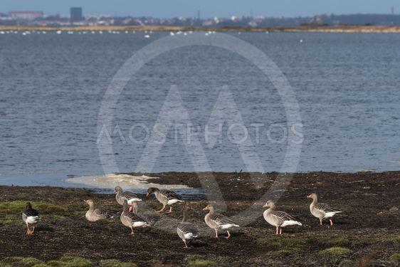 En flock grägäss vid strandkanten på Öland