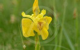 yellow flower Iris pseudacorus