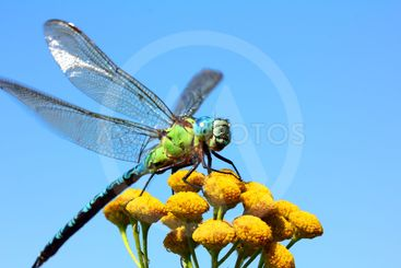 dragonfly on yellow flower macro