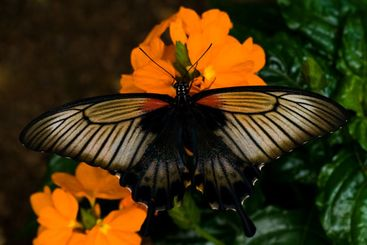 Great Mormon tropical butterfly