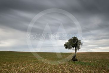 Lonely Olive tree with moving clouds