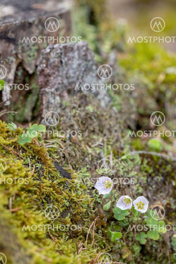 närbild av en liten grupp blommande harsyra