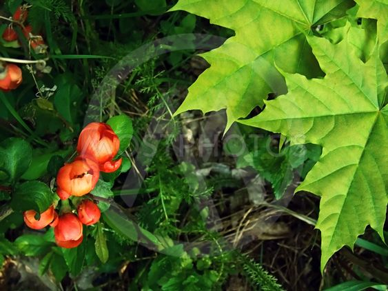 Marple leaves and red flowers