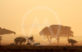 Sunset with silhouetted trees and zebras