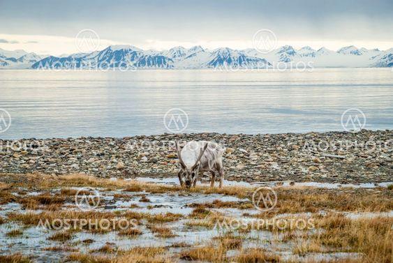 Reindeer in arctic summer