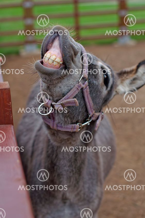 donkey showing teeth in a funny pose