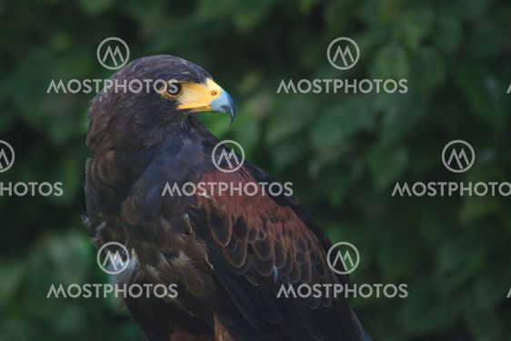 black and brown eagle