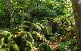 Vacker gammal mossig stenmur i Västra äng naturreservat...