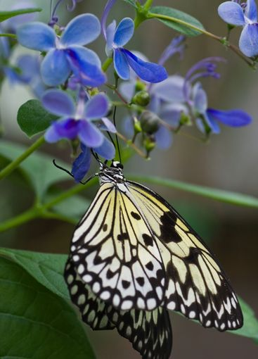 Paper Kite Butterfly on blue Clerodendrum