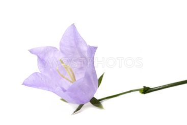 Lilac flower on a white background