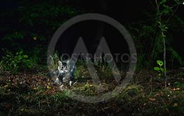 Wild tabby cat in forest photographed by camera trap at...