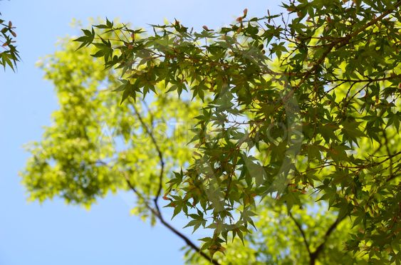 Green Maple, Blue Sky