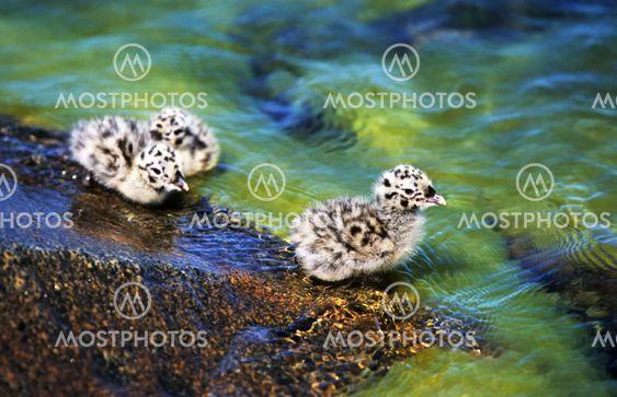Sea Gull Baby kycklingar
