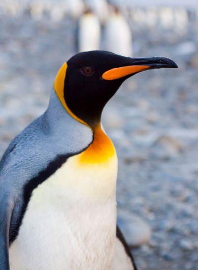 king penuin