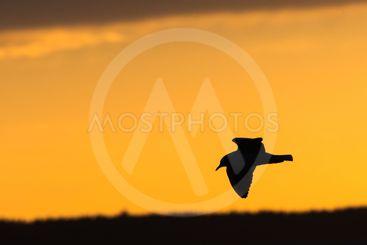 Silhuett av en flygande skrattmås i solnedgången
