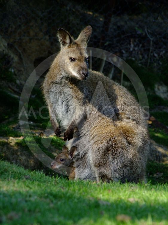 Wallaby and young