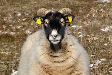 Coolt får med grässtrå i mungipan