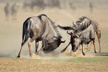 Fighting blue wildebees