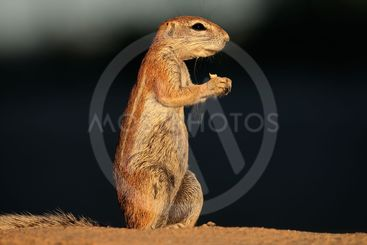 Feeding ground squirrel