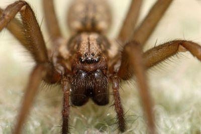 Wolf Spider Extreme
