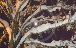 Snow on the branches of a tree, night, left the light...