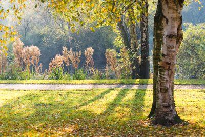 Sunlight through birch trees in fall