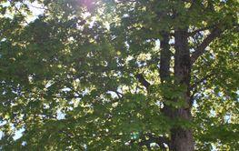 Sol i träd