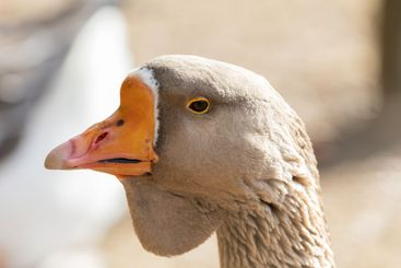 African goose close up of head and eye.